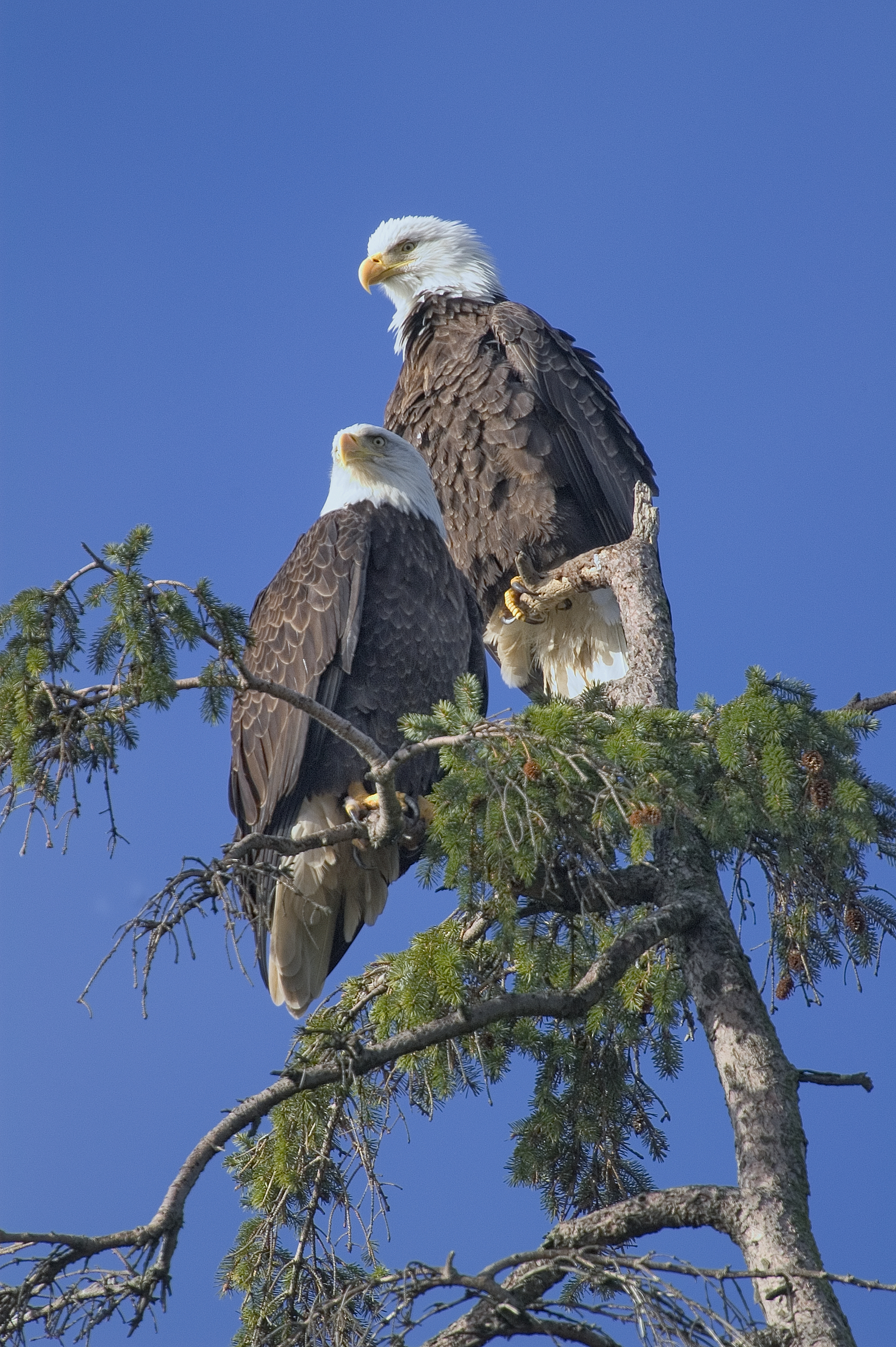 Two bald eagles sitting on top of a tree