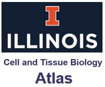Cell and Tissue Biology Atlas