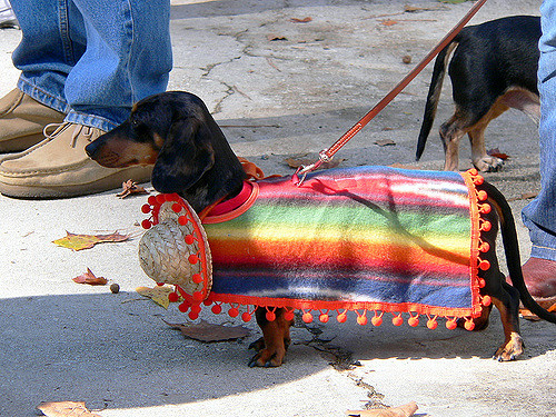 Dachshund in a Mexican dress