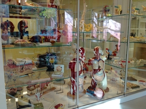 Anatomical Models Display