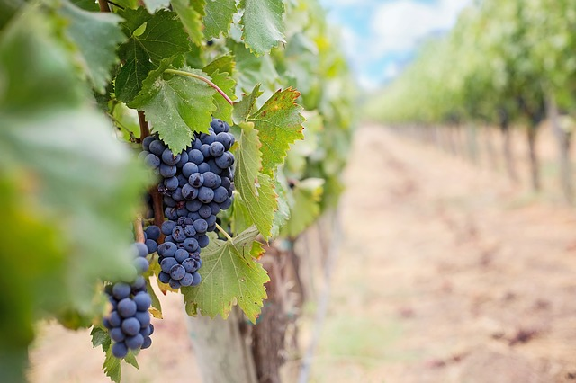 Rows of red grapes in a vineyard; Image cc0 by Jill Wellington on Pixabay
