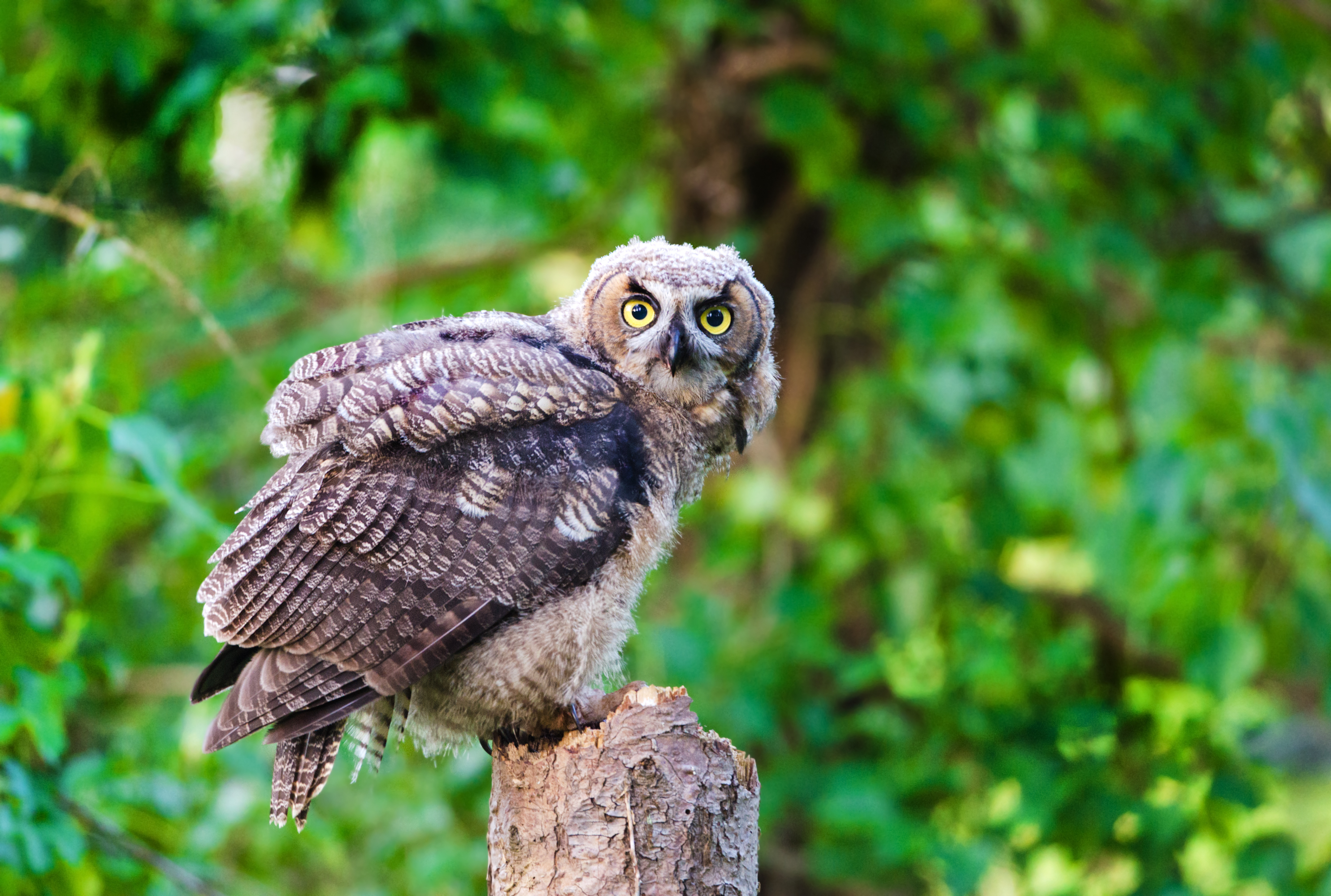 Great horned owl on top of a stump