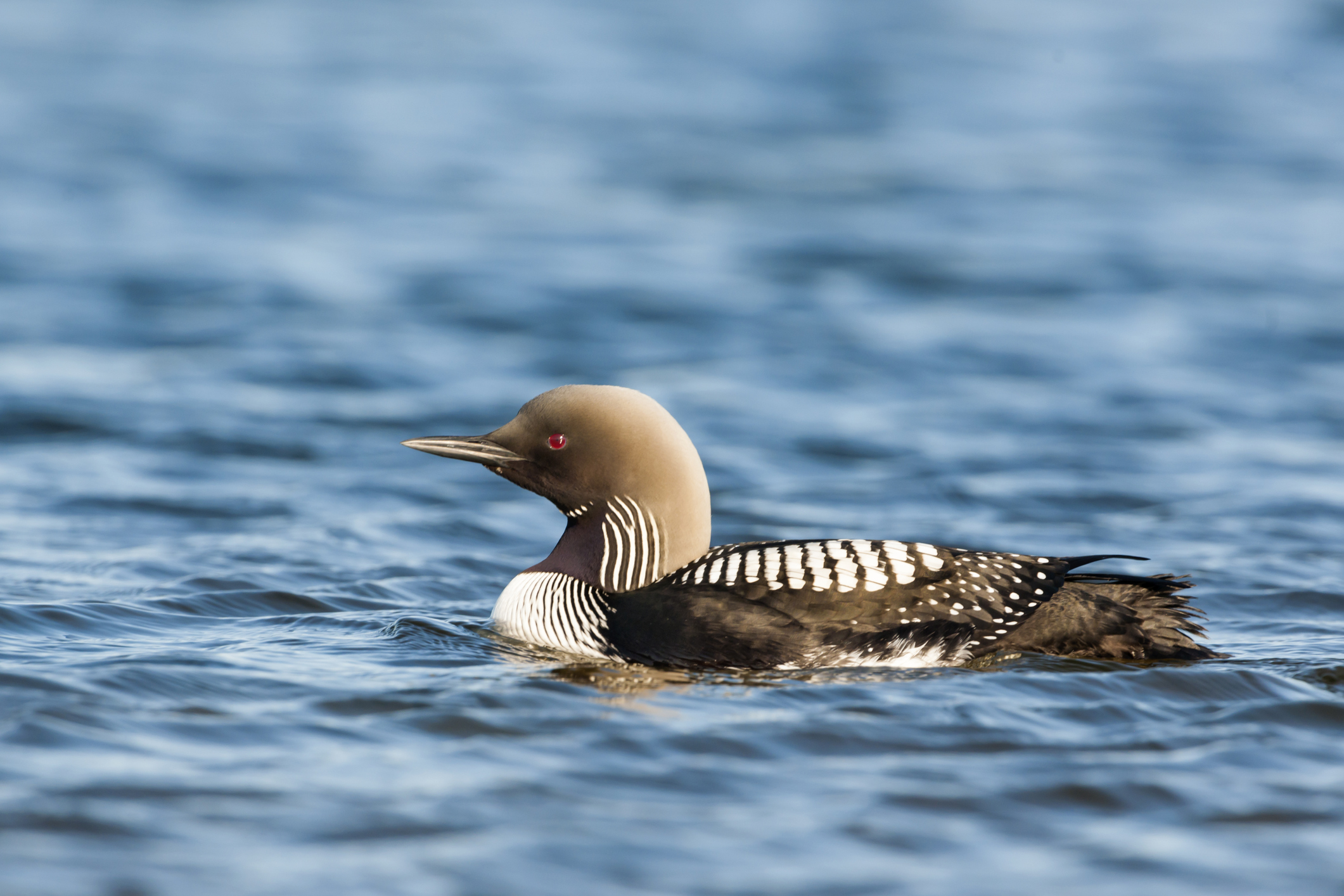 Pacific loon in ocean