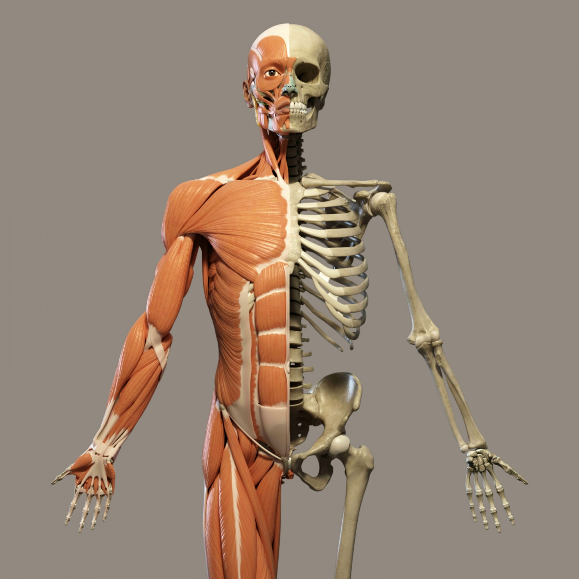 skeleton and muscle