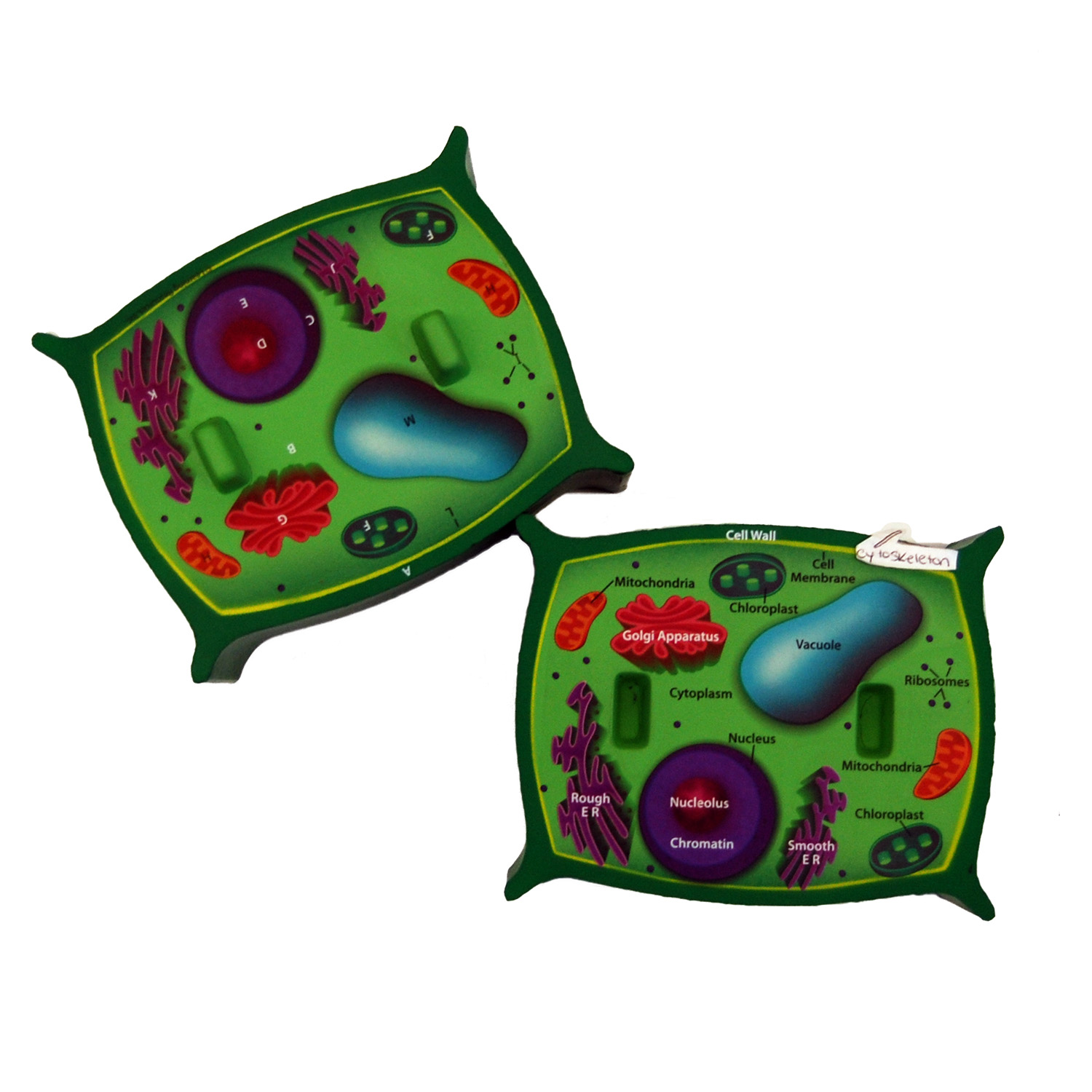 cross section of a plant cell